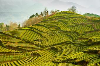 Contour farming tea garden