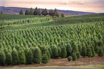 Environmental Impact of Real vs. Fake Christmas Trees