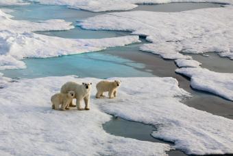 Polar bars walking on melting ice