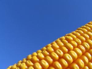 Ripe_corn.JPG