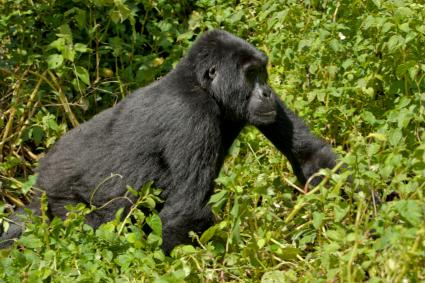 Endangered gorilla roaming