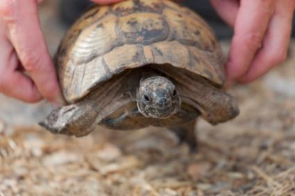 Biologist lending a turtle a helping hand