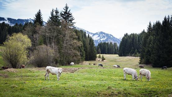 Cows in springtime