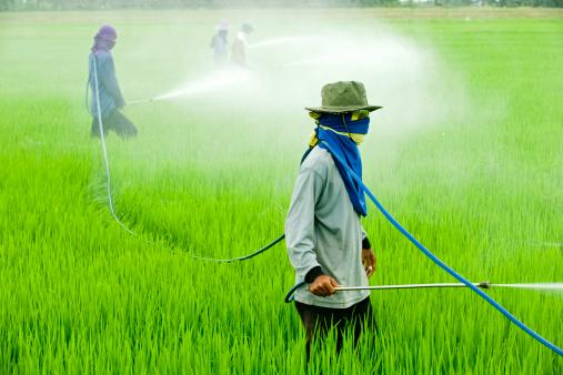 Pesticide in rice field