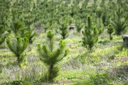 Rows of recent planted of young pine trees