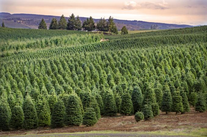 Christmas Tree Farm in central Oregon
