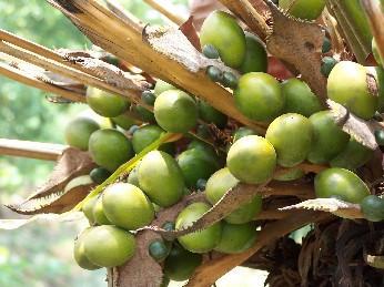 Palm nuts from Ojon tree