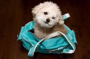 Image of a white Poodle puppy in a purse