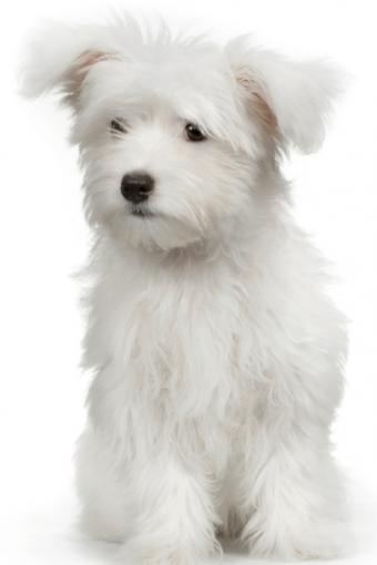 Maltese Dog Purse