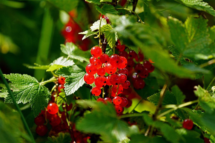 red-currants-on-branch.jpg