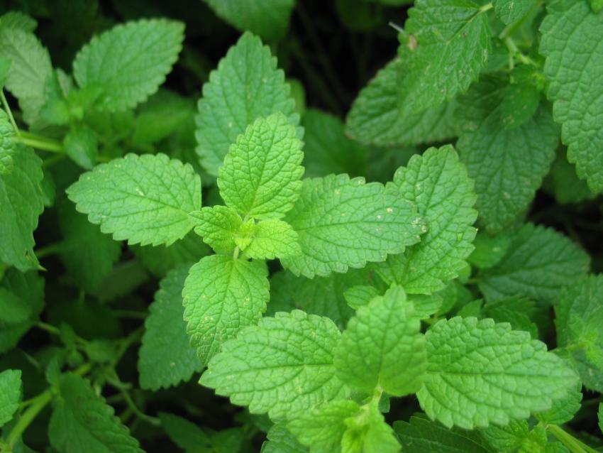 https://cf.ltkcdn.net/herbs/images/slide/145534-850x638r1-peppermint.jpg