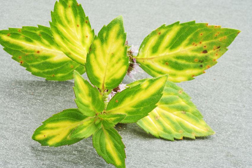 https://cf.ltkcdn.net/herbs/images/slide/166650-850x567-ginger-mint.jpg