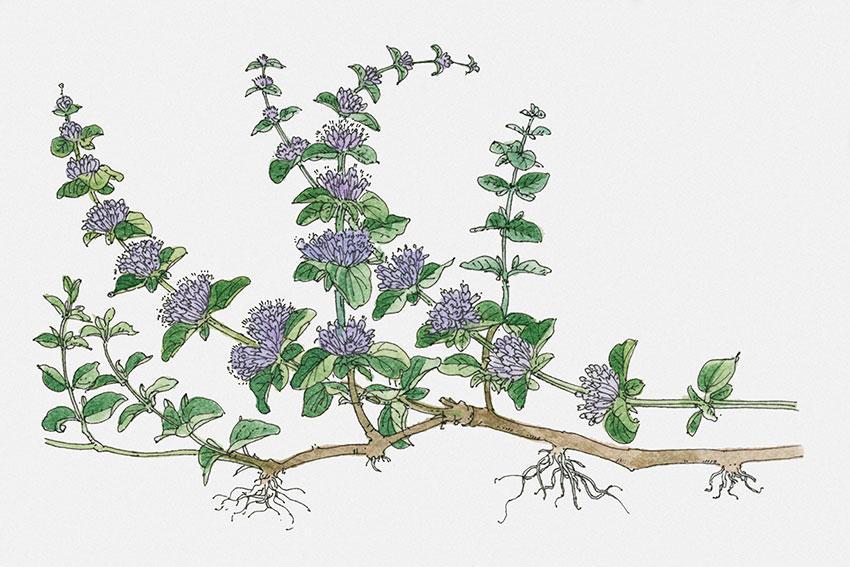 https://cf.ltkcdn.net/herbs/images/slide/166651-850x567-mentha-pulegium-stems-pennyroyal.jpg