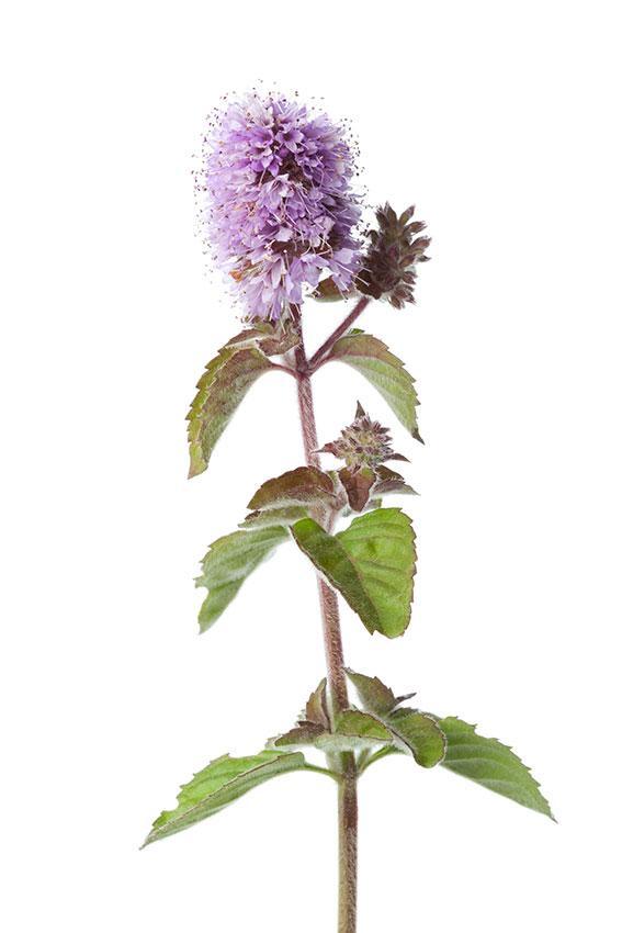 https://cf.ltkcdn.net/herbs/images/slide/166653-567x850-flowering-water-mint-closeup.jpg