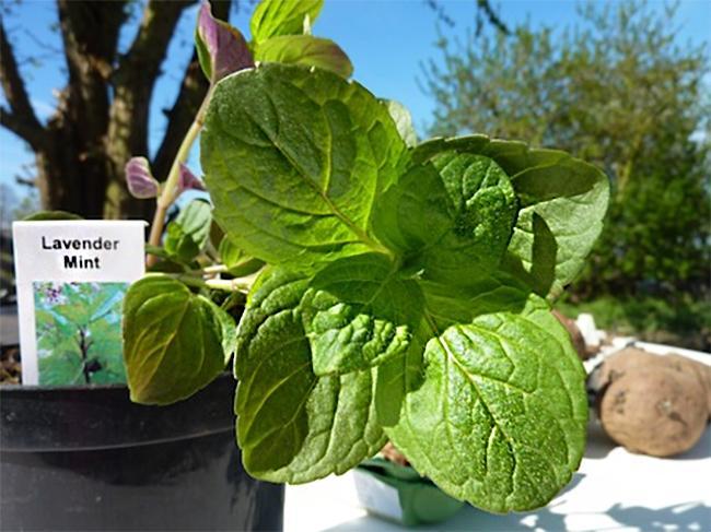 https://cf.ltkcdn.net/herbs/images/slide/210462-650x487-lavendermint.jpg