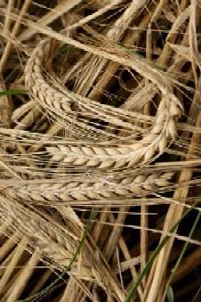Barley Grass Health Benefits