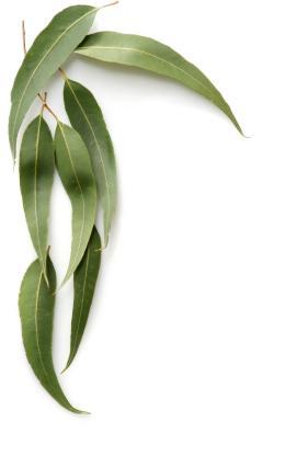 Eucalyptus Oil for Fibromyalgia