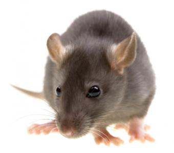 Peppermint to Get Rid of Mice