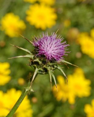 Milk_Thistle_for_Ovarian_Cysts.JPG