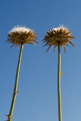 Herbal Remedy for Cirrhosis