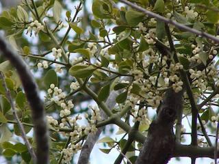 Mistletoe the Plant