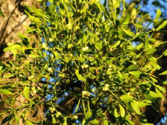 Where Does Mistletoe Grow