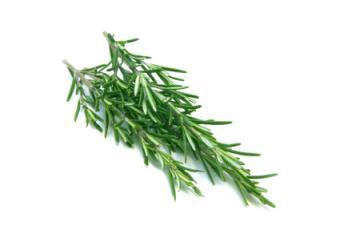 Rosemary a Natural Flea Repellant