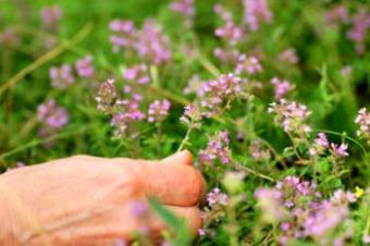 Thyme Ground Cover