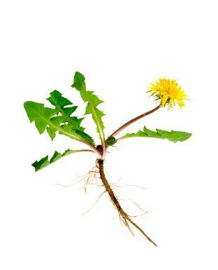 Dandelion with Roots and Leaves