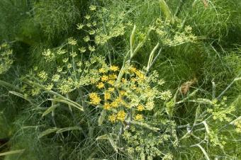 https://cf.ltkcdn.net/herbs/images/slide/123739-849x565r2-Fennel.jpg