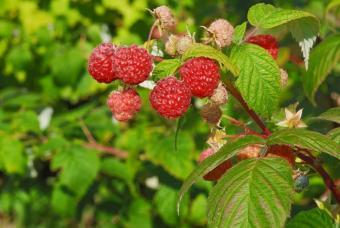 https://cf.ltkcdn.net/herbs/images/slide/123743-847x567r2-Red-Raspberry.jpg