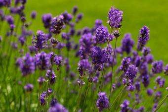 https://cf.ltkcdn.net/herbs/images/slide/126536-849x565r1-lavenderbigfile.jpg