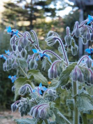 How Does Borage Oil Affect the Adrenals?