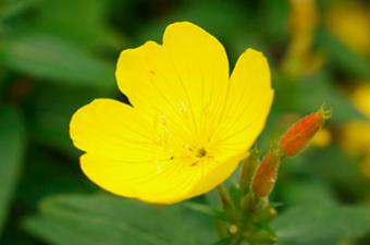 Evening Primrose Oil Benefits