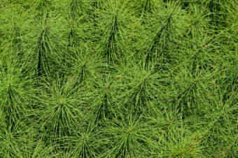 Using Horsetail Herb