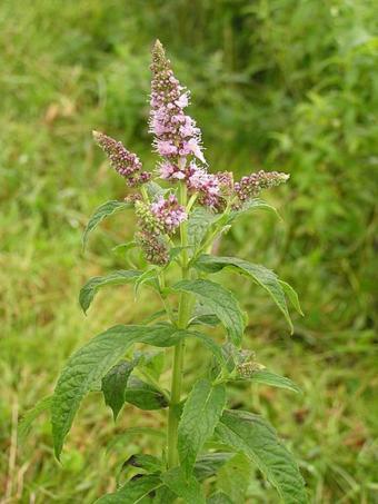 https://cf.ltkcdn.net/herbs/images/slide/166662-638x850-mentha-longifolia.jpg