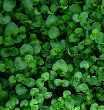 https://cf.ltkcdn.net/herbs/images/slide/166663-567x601-mentha-requienii-corsican-mint.jpg