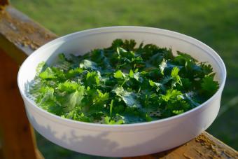 solar drying parsley