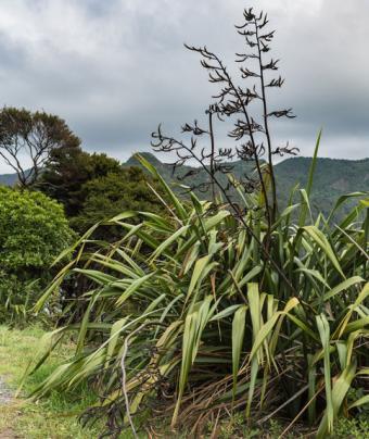 Sturdy Harakeke plant (flax)