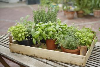 Herbs That Repel Mosquitoes