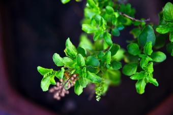 Holy Basil Plant (Ocimum tenuiflorum)