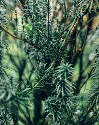 Pine scented rosemary