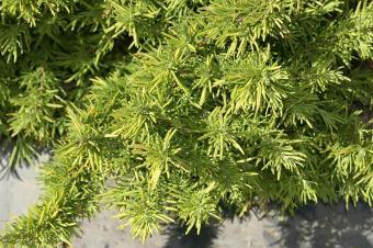Golden Rosemary