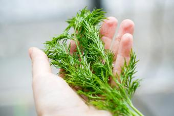 Hand holding a branch of fresh dill