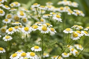 Feverfew Wildflowers
