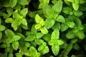 Mint Plants in garden