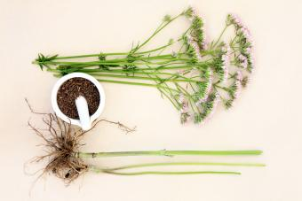 Valerian flower herb with fresh root and chopped in a mortar with pestle