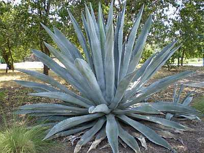 Blue Agave Plants Lovetoknow
