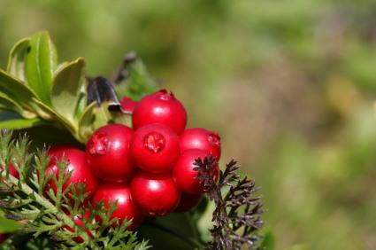 cranberries, cranberry plant