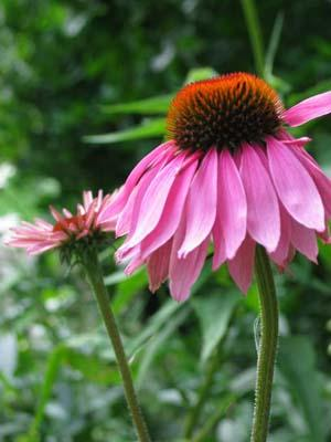 Echinacea is also known as the American coneflower